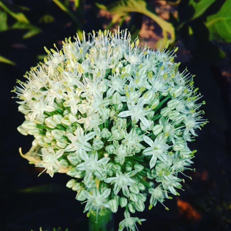 Flor de la cebolla imagen de archivo libre de regalías