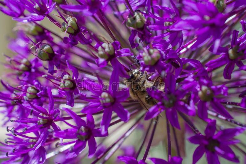 Flor de la cebolla del allium con la abeja imagen de archivo libre de regalías