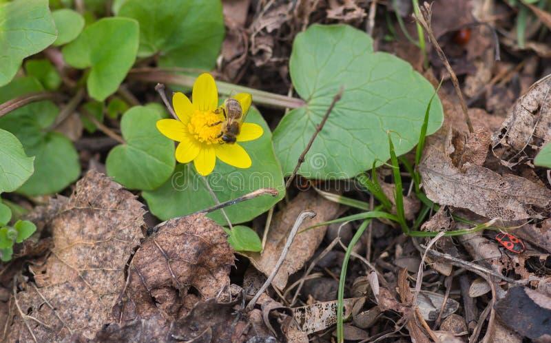 Flor de la celidonia menor que tiene primera abeja que recolecta el néctar imagen de archivo libre de regalías