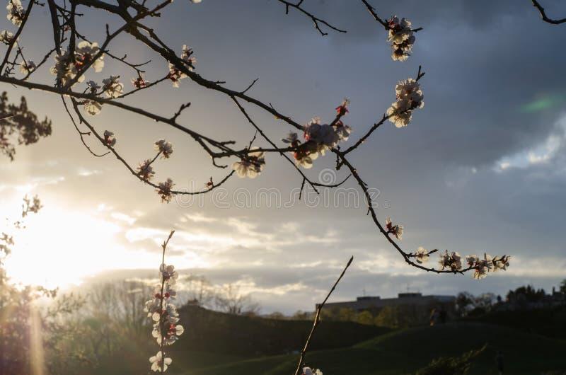 Flor de la cereza de la primavera contra el cielo Ramas de florecimiento por la tarde de la primavera fotos de archivo