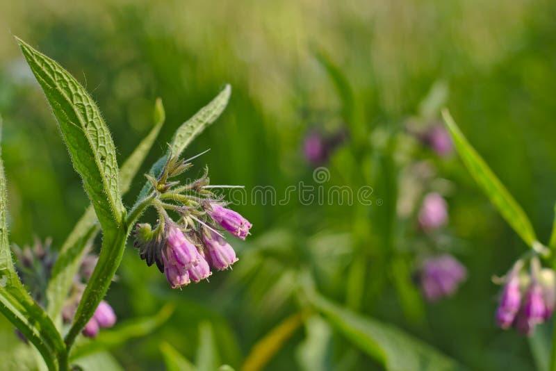 Flor de la consuelda, s dof selectivo (officinale del Symphytum) fotos de archivo