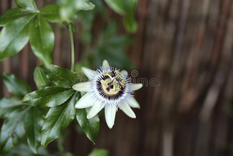 Flor de la correhuela en la planta que sube fotografía de archivo