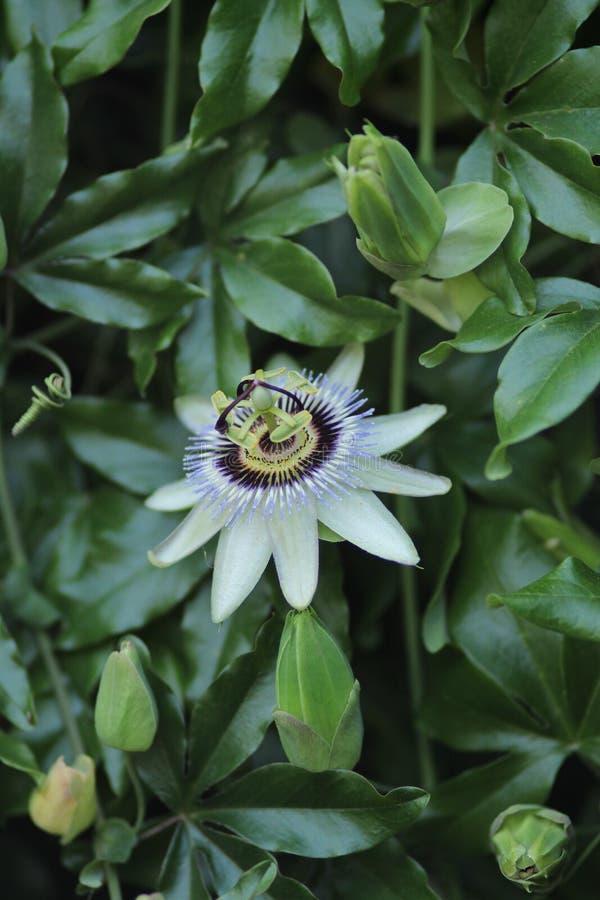 Flor de la correhuela en la planta que sube imagen de archivo
