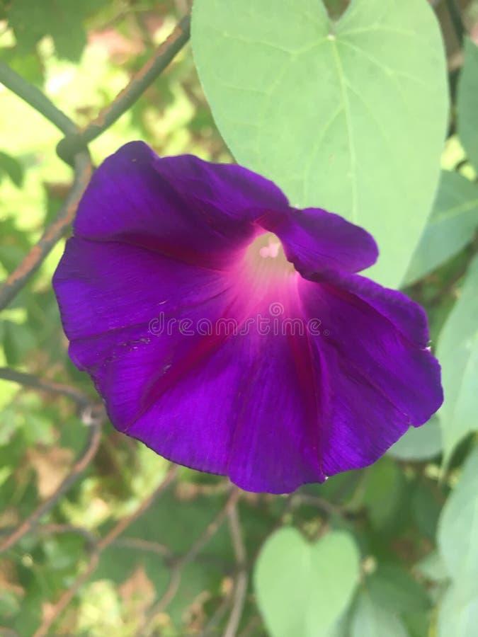 Flor de la correhuela en Uniondale Nueva York imagenes de archivo
