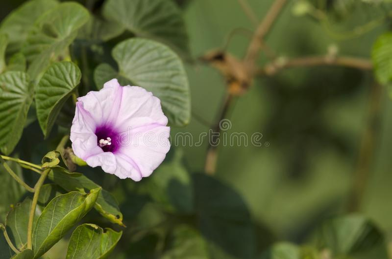 Flor de la correhuela, Ipomoea cerca de Pune, maharashtra, la India fotografía de archivo