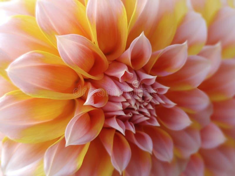 Flor de la dalia, amarillo-rojo-rosada primer Dalia hermosa la flor de la vista lateral, el fondo lejano se empaña, para el diseñ fotografía de archivo libre de regalías