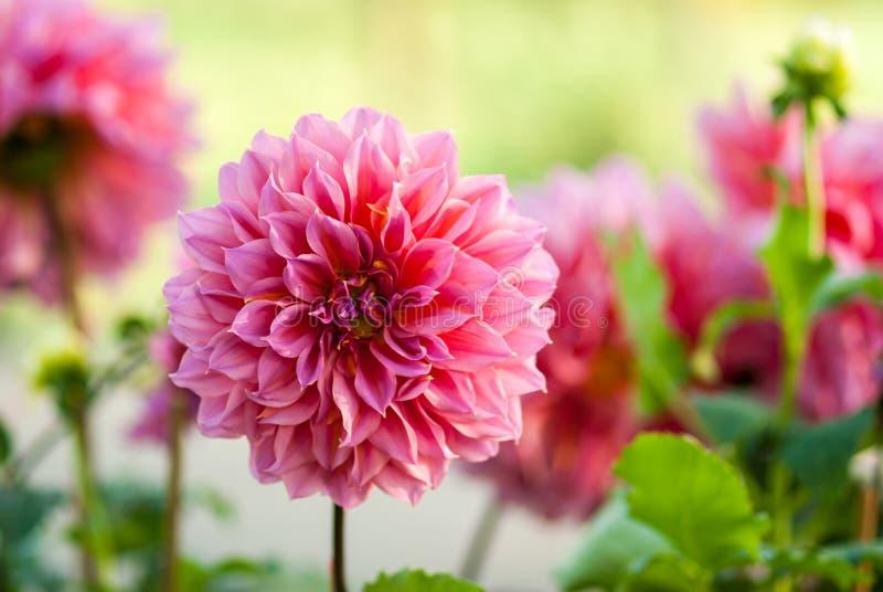 Flor de la dalia del jardín foto de archivo