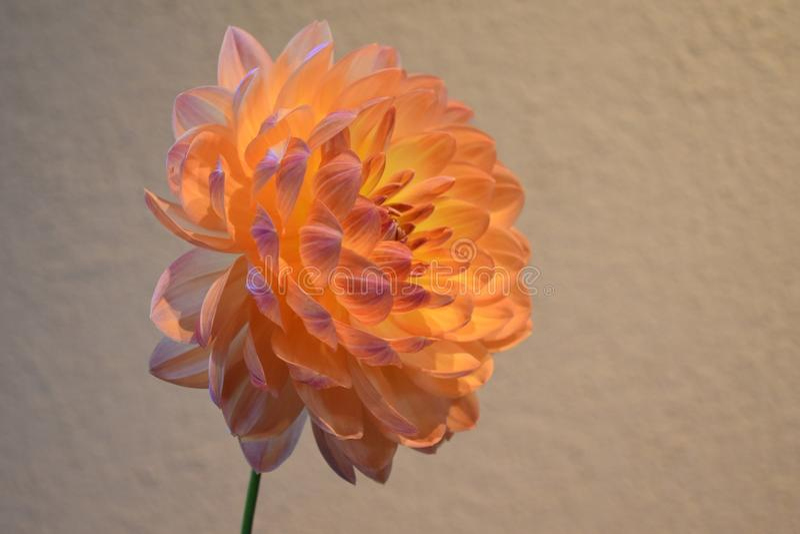 Flor de la dalia del melocotón imagen de archivo