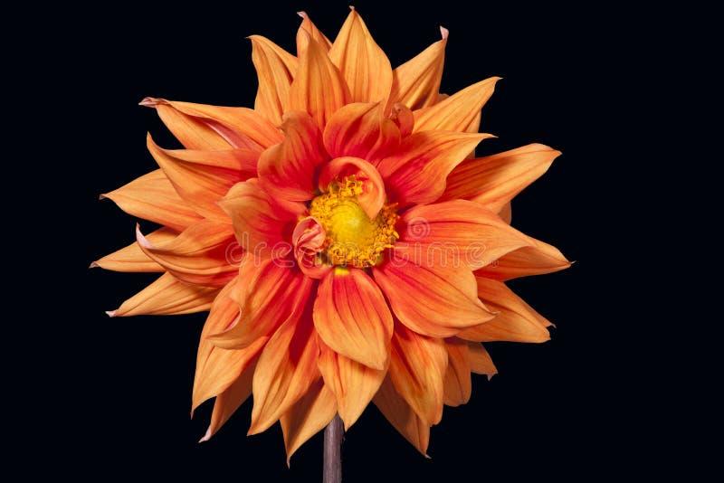 Flor de la dalia del oro imagenes de archivo