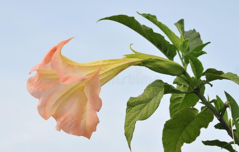 Flor de la datura (trompeta del ángel) imagen de archivo libre de regalías