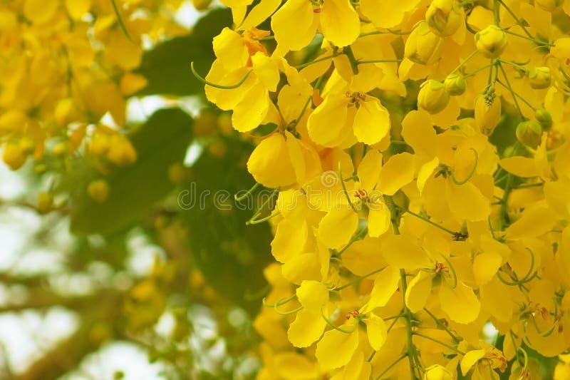 Flor de la ducha o fístula de oro de la casia en la plena floración fotografía de archivo