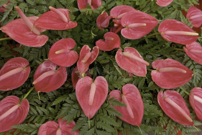Flor de la espádice fotografía de archivo libre de regalías