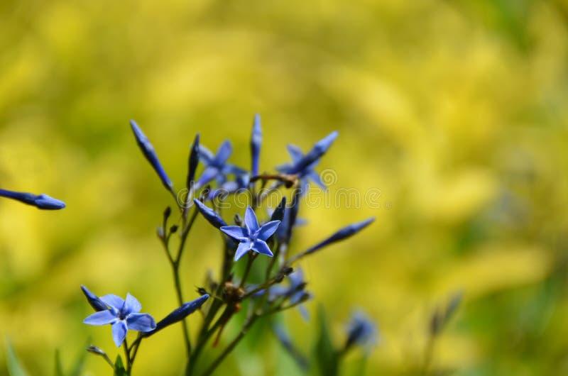 Flor de la estrella azul en Cornell University Botanical Gardens imagen de archivo