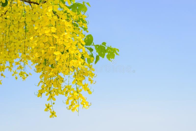 Flor de la fístula de la casia en el cielo azul imagenes de archivo