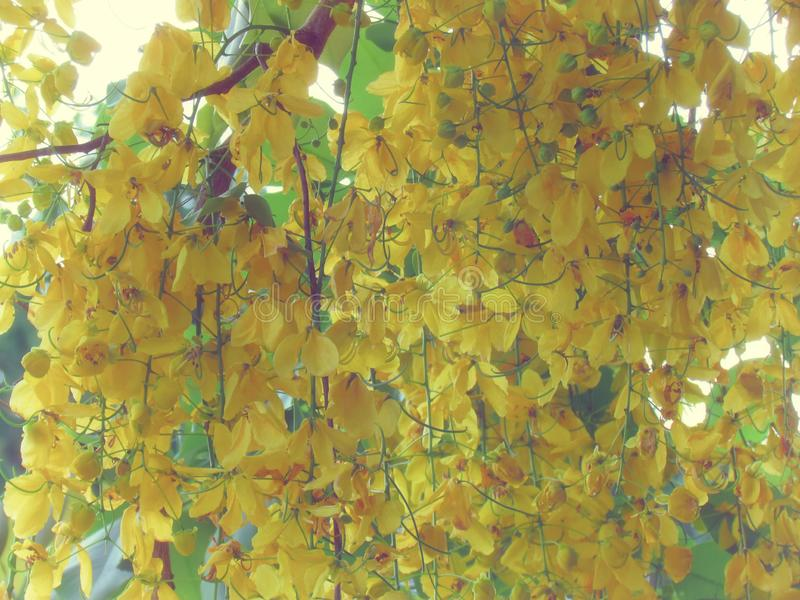 Flor de la fístula de la casia o floración amarilla brillante de la flor de oro de la ducha plena en árbol fotos de archivo libres de regalías