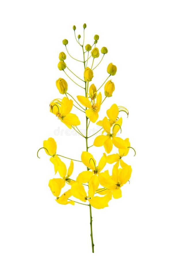 Flor de la fístula de la casia aislada en el fondo blanco fotografía de archivo