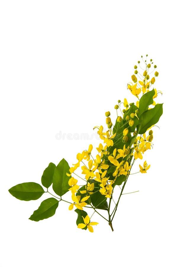 Flor de la fístula de la casia aislada en el fondo blanco imagen de archivo