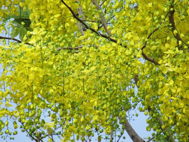 Flor de la fístula de la casia o floración amarilla brillante de la flor de oro de la ducha plena en verano fotografía de archivo libre de regalías