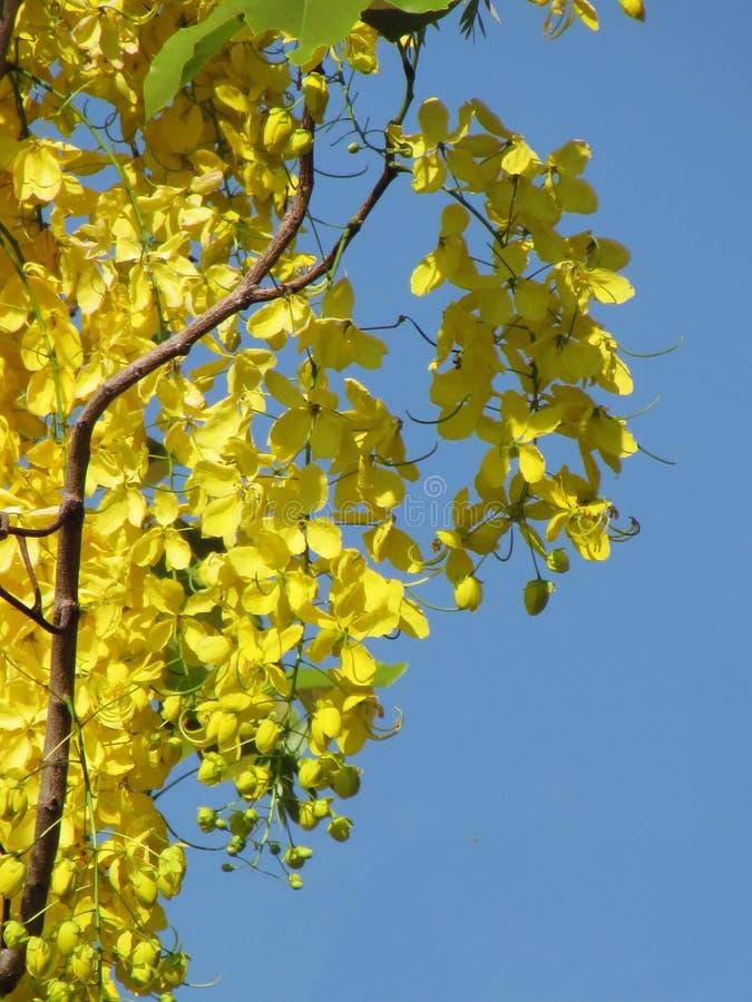 Flor de la fístula de la casia o floración amarilla brillante de la flor de oro de la ducha plena en verano Foco selectivo fotos de archivo