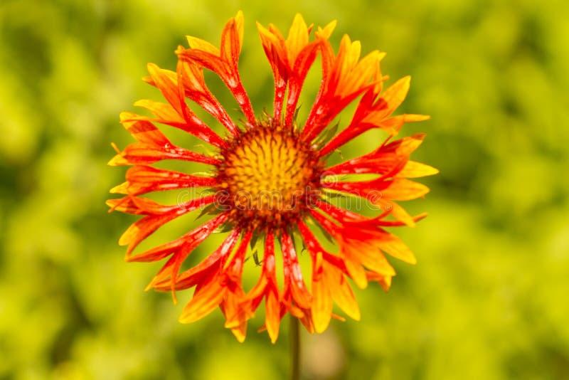 Flor de la fanfarria del Gaillardia imagenes de archivo