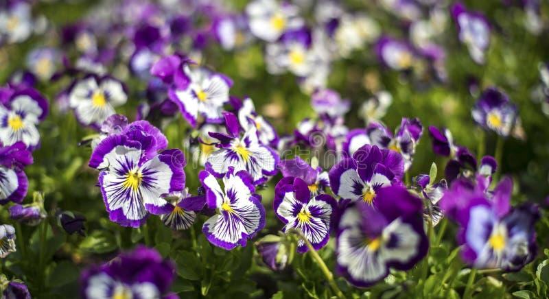 Flor de la flor de la amapola fotografía de archivo