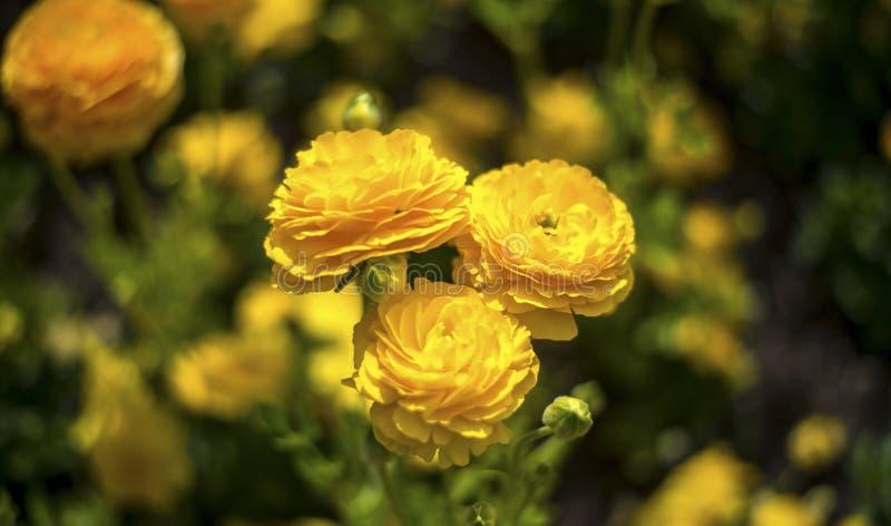 Flor de la flor de la margarita foto de archivo
