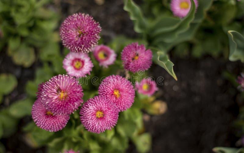 Flor de la flor de la margarita imagen de archivo libre de regalías