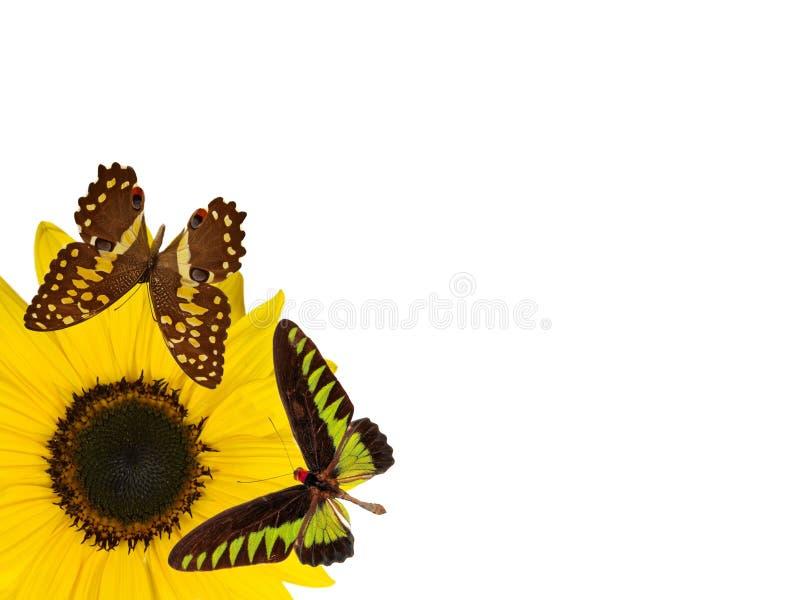 Flor de la flor de Sun aislado en los wi blancos del fondo imagen de archivo libre de regalías