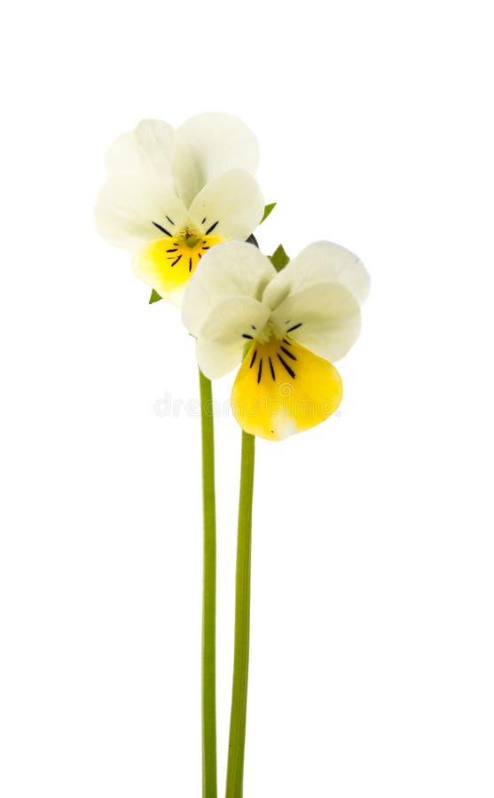 flor de la flor del pensamiento aislado foto de archivo libre de regalías