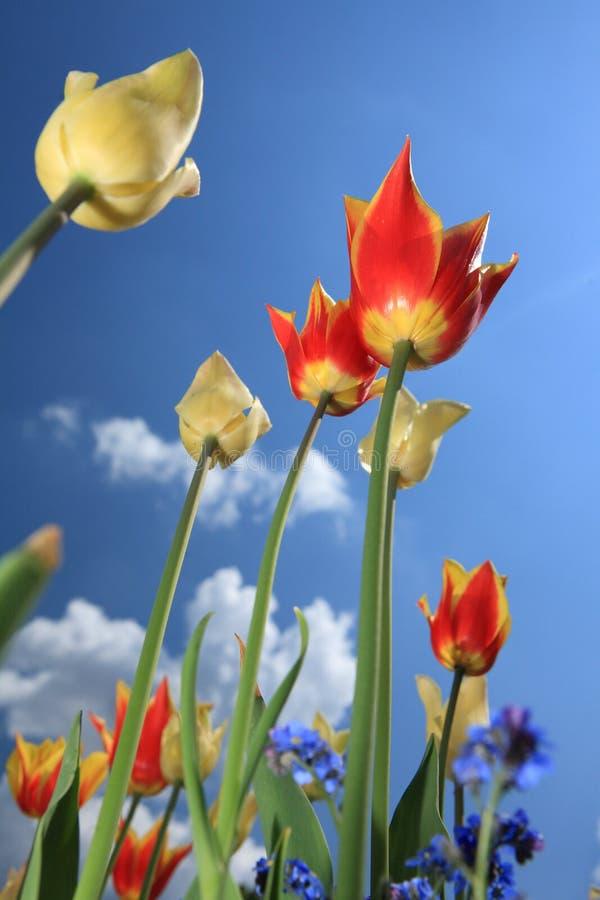 Flor de la flor del tulipán fotografía de archivo libre de regalías