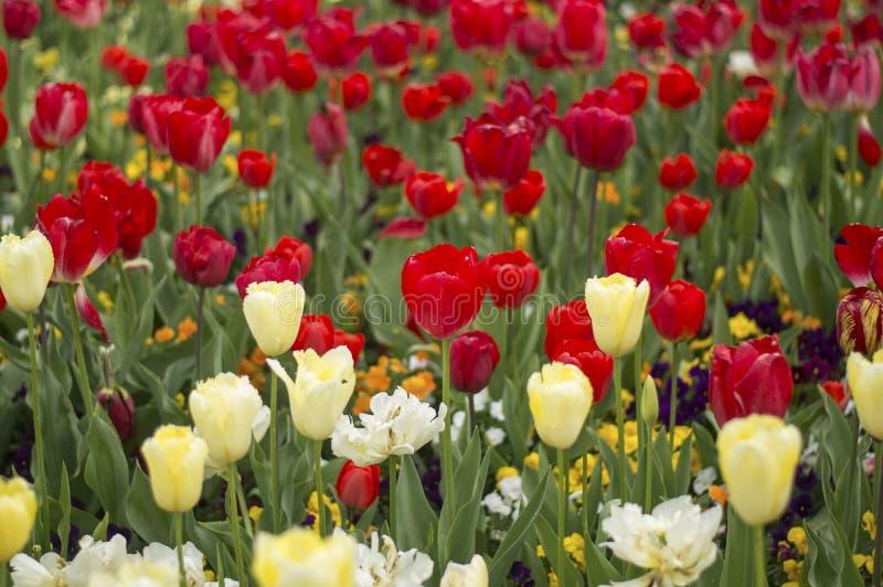 Flor de la flor del tulipán foto de archivo libre de regalías
