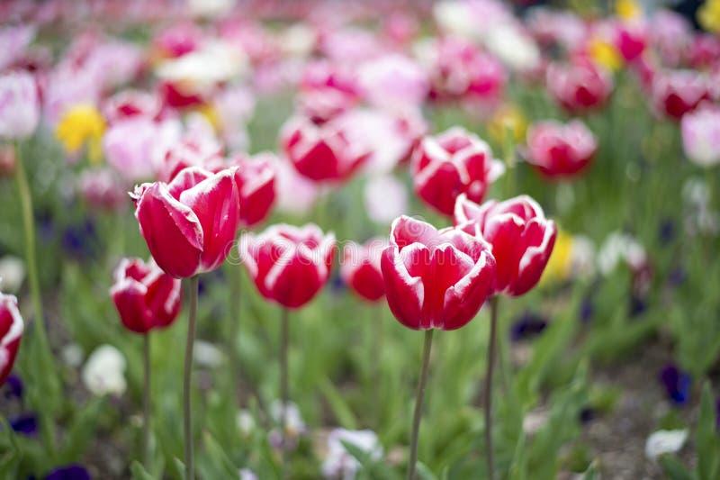 Flor de la flor del tulipán imagen de archivo