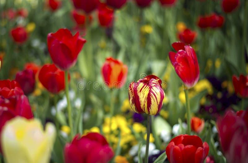 Flor de la flor del tulipán imágenes de archivo libres de regalías