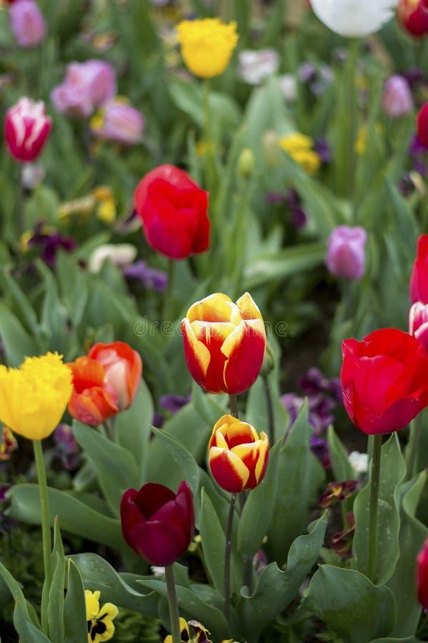 Flor de la flor del tulipán fotografía de archivo