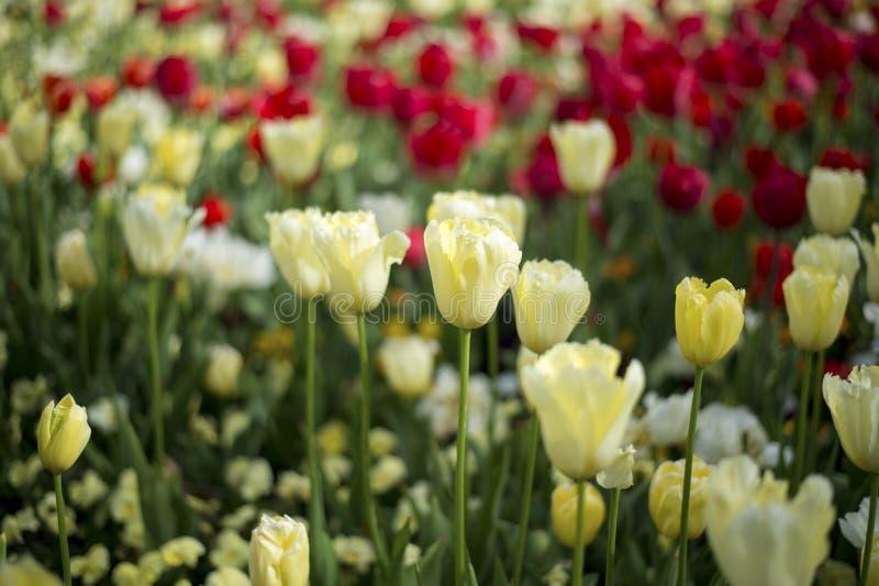 Flor de la flor del tulipán imagenes de archivo