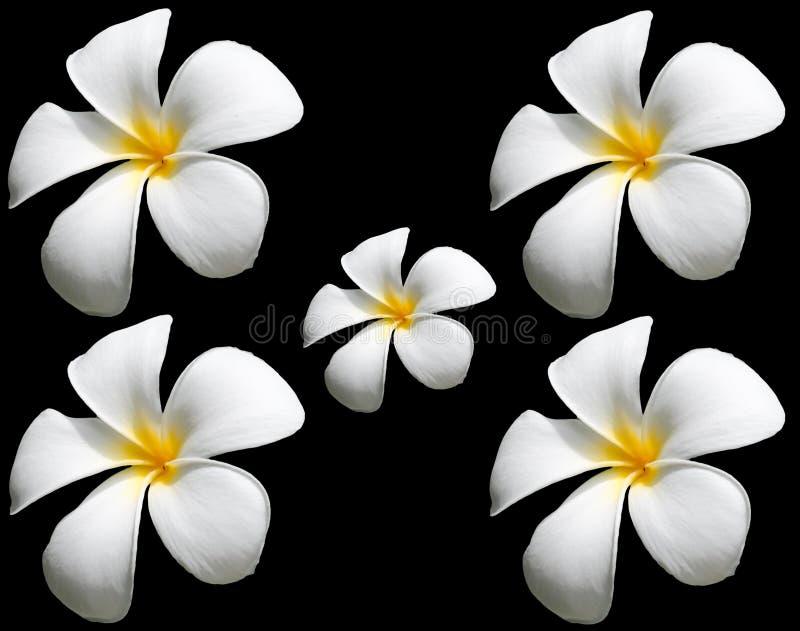 Flor de la flor o del Plumeria del Frangipani aislada en Backgroun negro foto de archivo libre de regalías