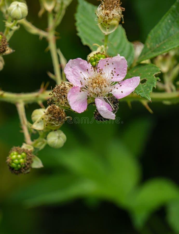 Flor de la frambuesa negra, occidentalis del Rubus foto de archivo