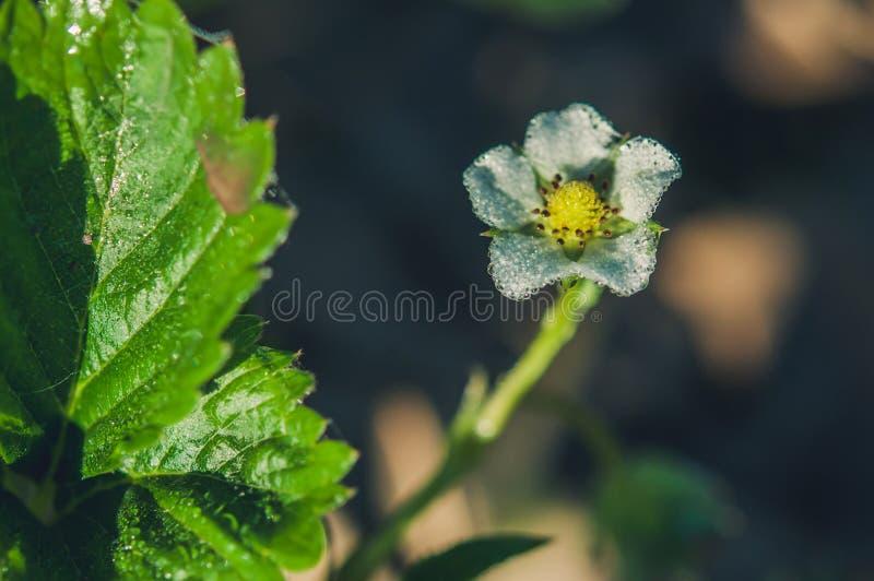 Flor de la fresa imagen de archivo libre de regalías