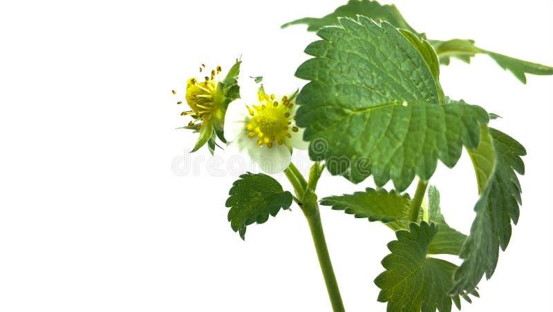 Flor de la fresa del primer en pote baya inmadura Macro en el fondo blanco fotos de archivo libres de regalías