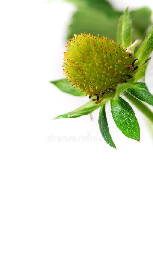 Flor de la fresa del primer en pote baya inmadura Macro en el fondo blanco fotografía de archivo libre de regalías