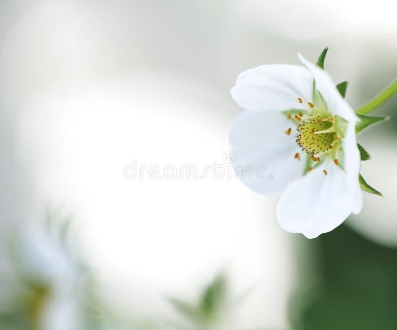 Flor de la fresa fotos de archivo