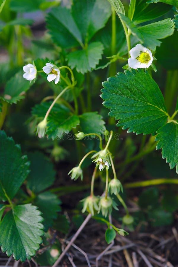 Flor de la fresa en la primavera imagenes de archivo