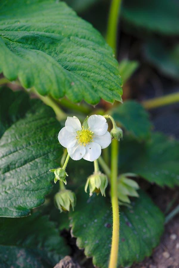 Flor de la fresa en la primavera imagen de archivo
