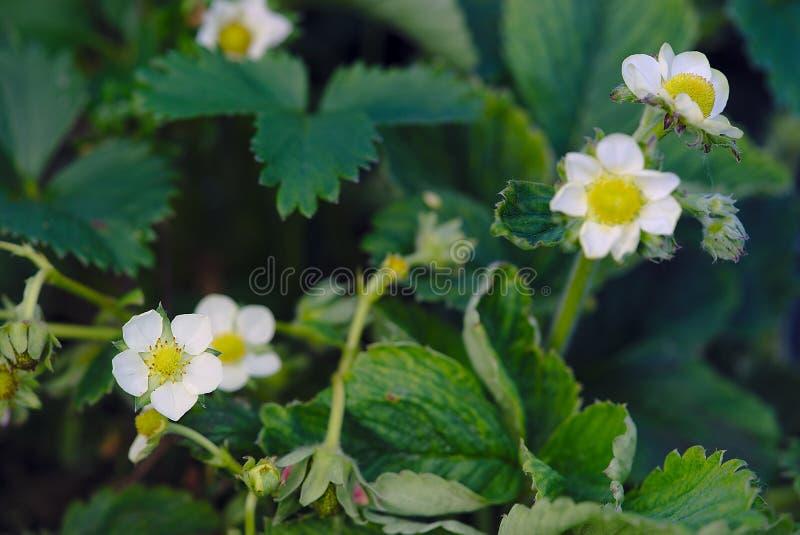 Flor de la fresa en la primavera fotografía de archivo
