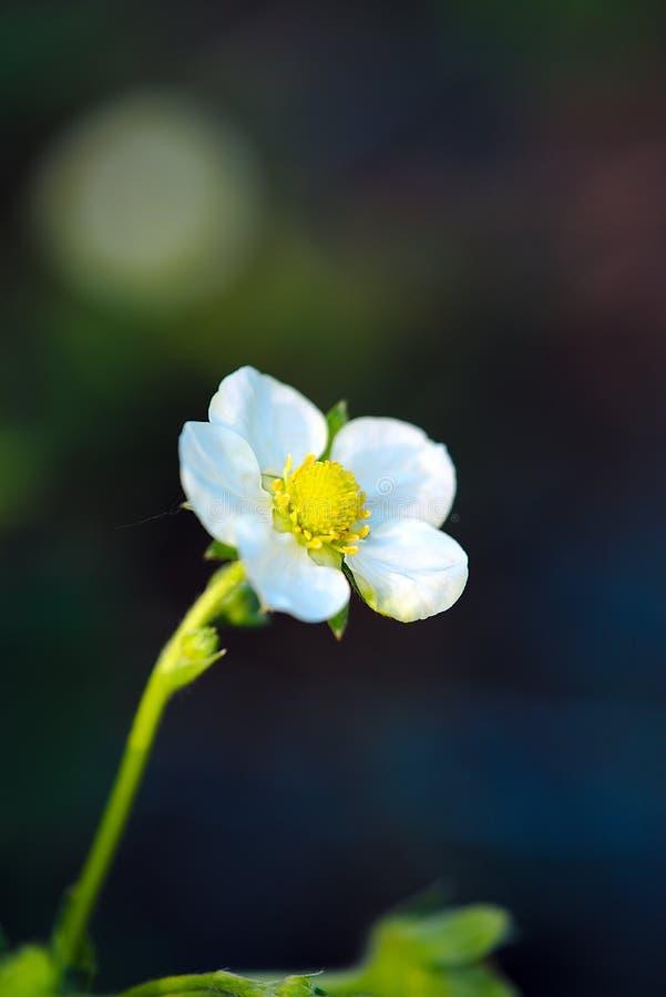 Flor de la fresa en la primavera fotos de archivo