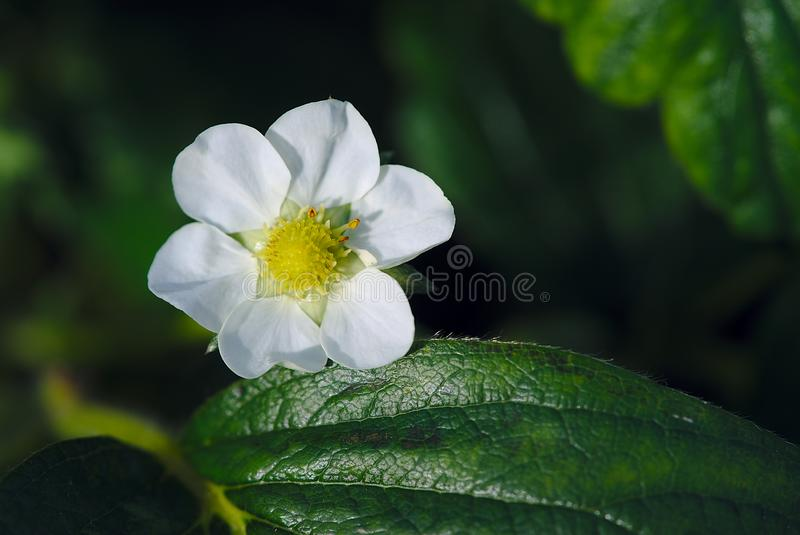 Flor de la fresa en la primavera foto de archivo