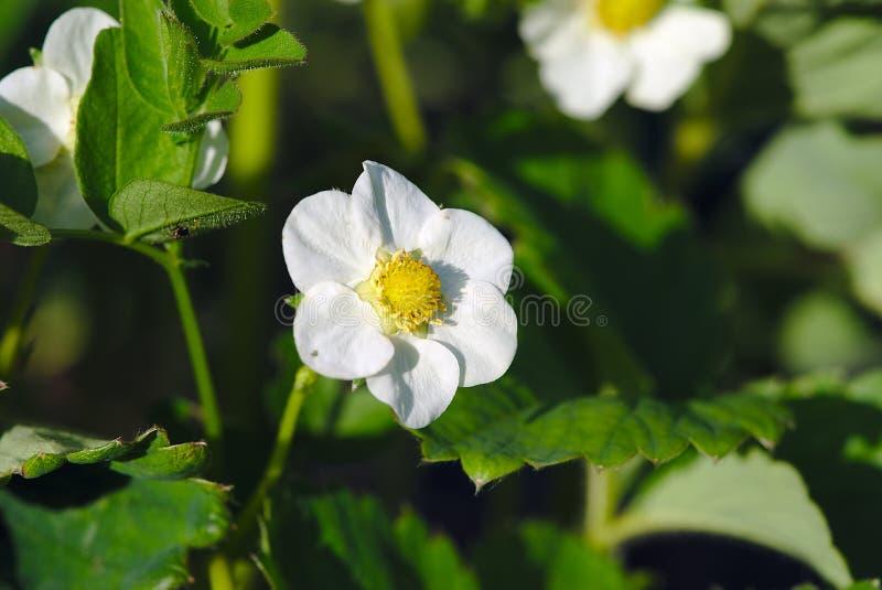 Flor de la fresa en la primavera imágenes de archivo libres de regalías