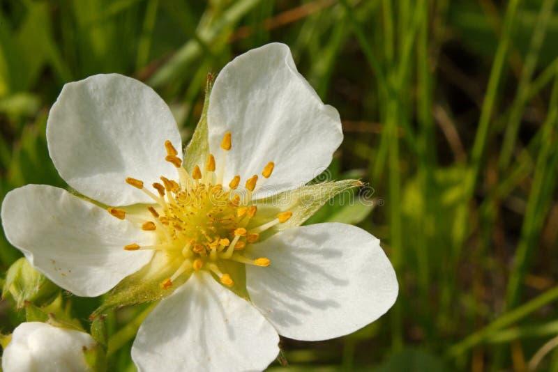 Flor de la fresa salvaje imagenes de archivo