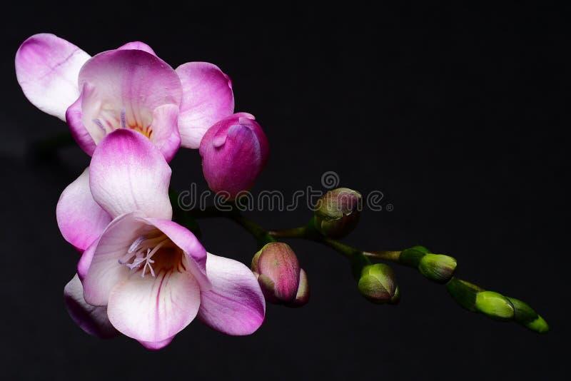 Flor de la fresia imagenes de archivo