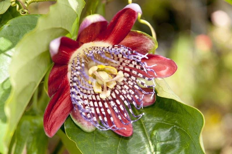 Flor de la fruta de la pasión fotografía de archivo libre de regalías